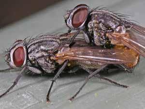 Vliegen soorten in huis