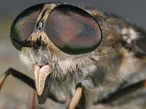steekvlieg beet wat doen